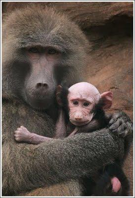 Ada juga monyet yang botak....