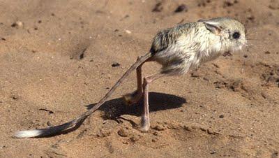 Binatang langka itu bernama jerboa