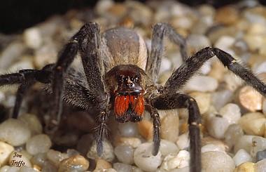 Laba-laba Pengembara Brazil