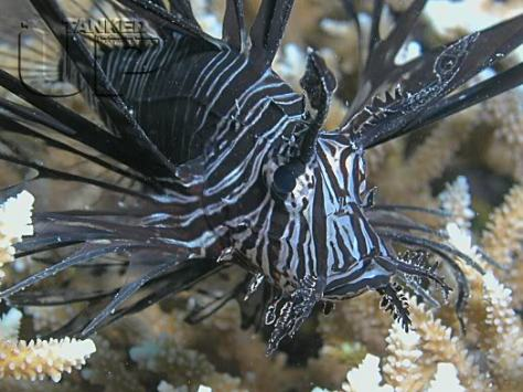 lionfish_black1