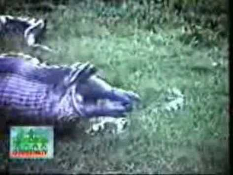 snake eat hippo
