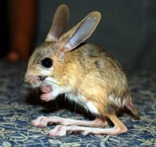tikus padang pasir