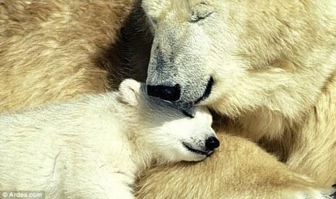 Kedamaian dan kemesraan beruang kutup induk dan anakannya