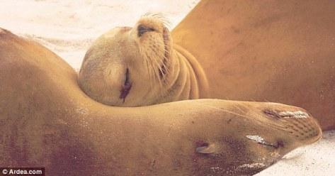 Mesra benar pasangan singa laut ini