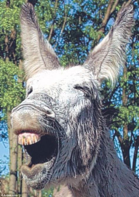 Ngakak seekor keledai
