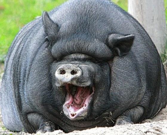 Seekor babi Vietnam tertawa memperlihatkan gerahamnya