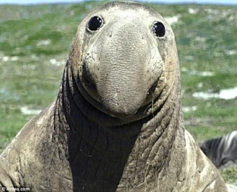 Senyuman si gajah laut
