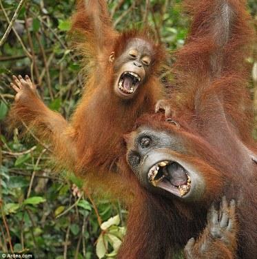 Tertawa lebar anak dan indukan gorilla