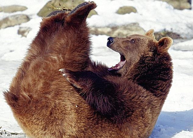 Whee, ini menyenangkan! Beruang coklat ini melihat sisi lucu kondisinya ketika tersandung