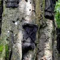Misteri dan pesona di balik pohon Tarra